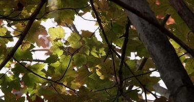Low angle shot of green and yellow leaves moved slowly by the wind in 4K