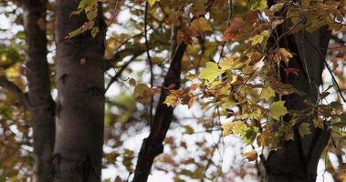 hojas amarillas y rojas moteadas en ramas de árboles con movimientos relajantes en 4k video