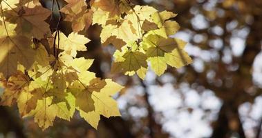 Detalle de hojas de color amarillo brillante con fondo de árboles oscuros desenfocados en 4k