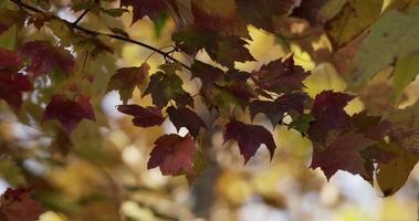 modelo natural de folhas vermelhas movidas pelo vento com árvores desfocadas no fundo em 4kcolorful, lindo video