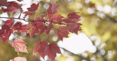 folhas rosa e vermelhas movidas pelo vento com floresta amarela no fundo em 4k video