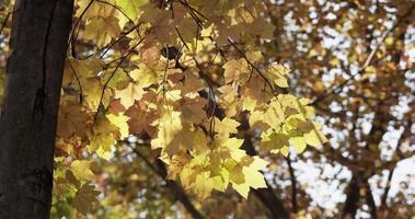folhas douradas brilhantes movendo-se lentamente no fundo da floresta em 4k