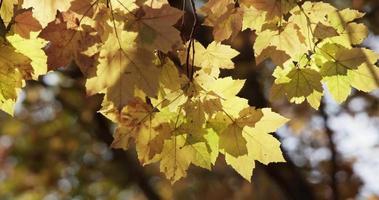 arranjo amarelo de folhas manchadas em fundo de floresta desfocado em 4k