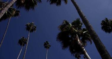 Toma panorámica girando entre palmeras altas con cielo azul de fondo en 4k video