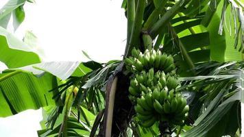 plátanos y frutas