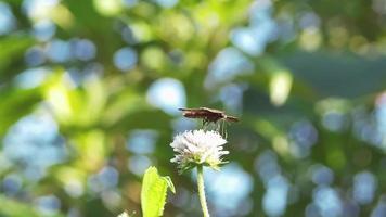 pequena borboleta marrom bebendo néctar