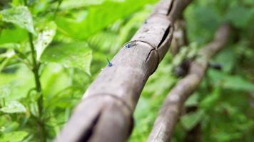 Blue Dragonflies On Bamboo