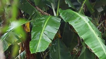 Banano con pequeñas hojas borrosas en primer plano video