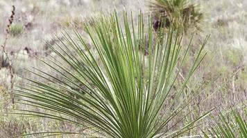 cacto planta cucharilla no monte