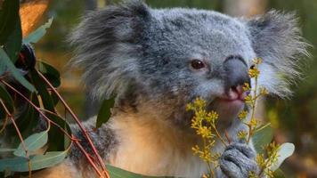 planta comedora de coala 4k video