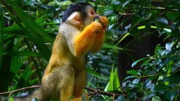 macaco-prego comendo frutas 4k