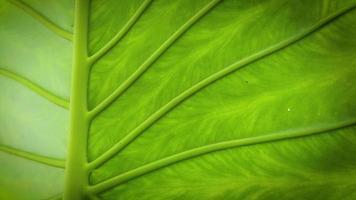 close-up da planta orelha-de-elefante com textura de folha video