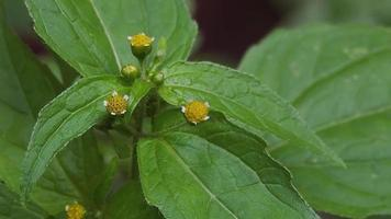 Nahaufnahme von drei kleinen gelben Blumen