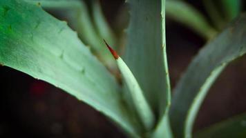plantinha de agave video