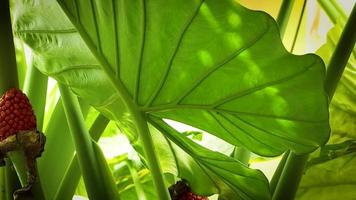 Big Leaf Of Elephant Ear Plant And Red Seeds