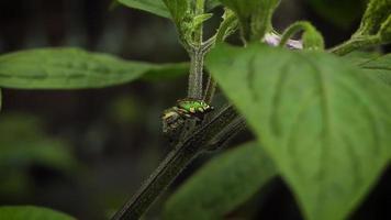 ragno verde e foglie