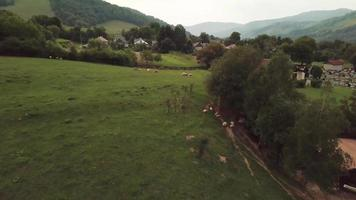 Drone flies over sheep in 4K