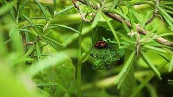 pequeno inseto preto e vermelho na folha video