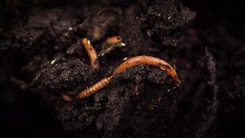 minhoca rastejando com centenas de pequenos insetos video