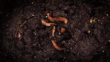 lombrices de tierra y miles de insectos en la caja de abono video