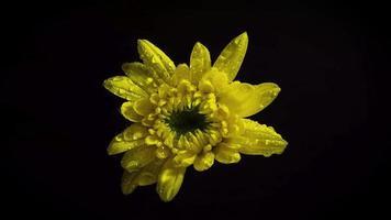 pequena flor amarela na escuridão video