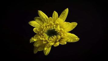 kleine gele bloem met druppels in duisternis