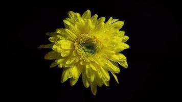 flor amarilla en la oscuridad video