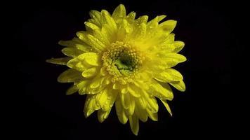gele bloem met druppels in duisternis