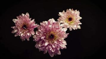 paarse bloemen met druppels in duisternis