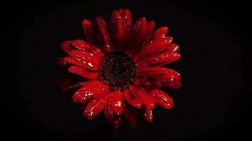 flor vermelha escura na escuridão video