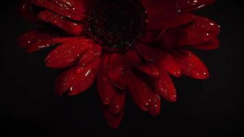 flor vermelha escura com gotas na escuridão video