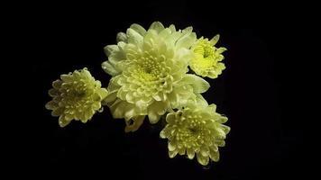 flores brancas com gotas em fundo escuro video
