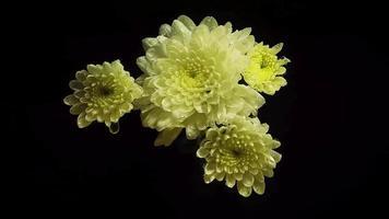 flores brancas com gotas na escuridão video