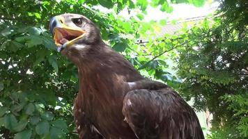 retrato, de, halcón, sentado, en, árbol, naturaleza video