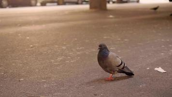 Pigeon On Dirty Street Looking To The Camera