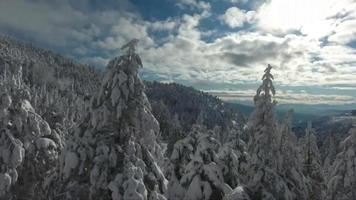 Trees coveres with snow in the  mountain