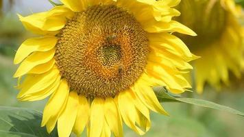 abejas en un girasol