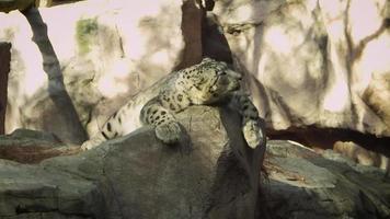 leopardo delle nevi nell'habitat dello zoo