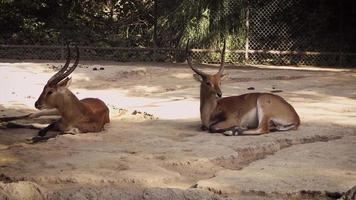 Gacelas jóvenes en el hábitat del zoológico