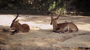 gacelas en el hábitat del zoológico