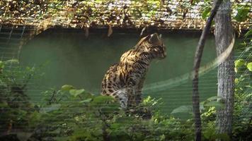 asiatische Leopardenkatze, die im Lebensraum des Zoos gähnt
