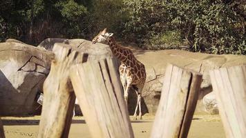 girafa no habitat do zoológico video