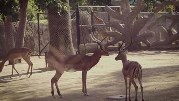 impalas no habitat do zoológico video