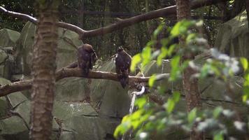 águias douradas no habitat do zoológico video
