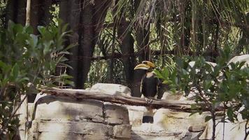 grande bucero nell'habitat dello zoo
