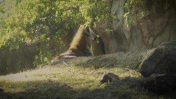 iena che riposa nell'habitat dello zoo