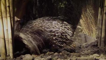 porco-espinho no habitat do zoológico video