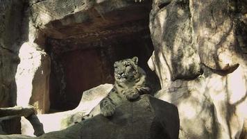 leopardo de las nieves en el hábitat del zoológico