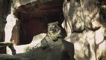 leopardo delle nevi che riposa nell'habitat dello zoo