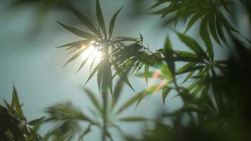sol brilhando atrás das plantas de cânhamo video